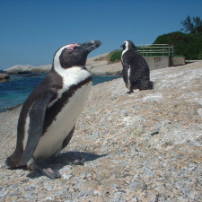 african-penguins-at-boulders