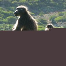 chacma-baboons